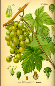 Plants And The Chemicals They Make Vitis Vinifera Grape And